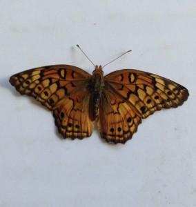 Do The Dead Dream? Dead Monarch Butterfly Oct 11, 2015