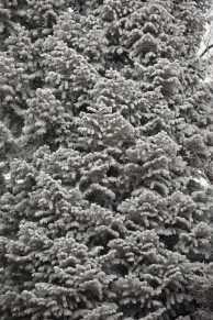 Frozen Branches (© F. P. Dorchak, Feb 2, 2017)